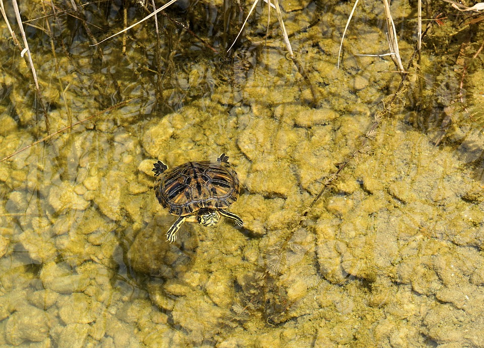 Turtle, Water, Pond, Panzer, Animal, Water Turtle