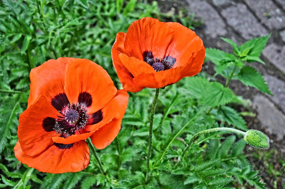 Free photo papaver opium poppy flower plant garden max pixel poppy papaver flower plant opium garden mightylinksfo