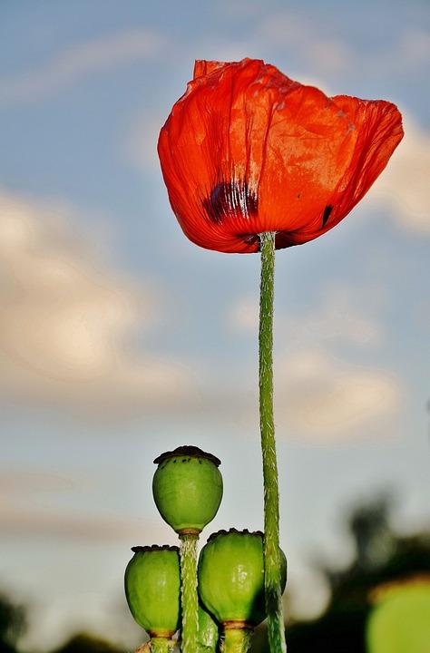 Flower, Plant, Blossom, Nature, Papaver, Poppy
