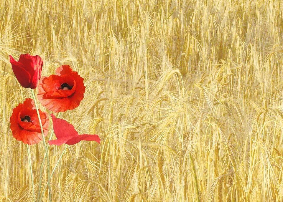Red Poppy, Papaver Rhoeas, Corn Field, Nature, Plants