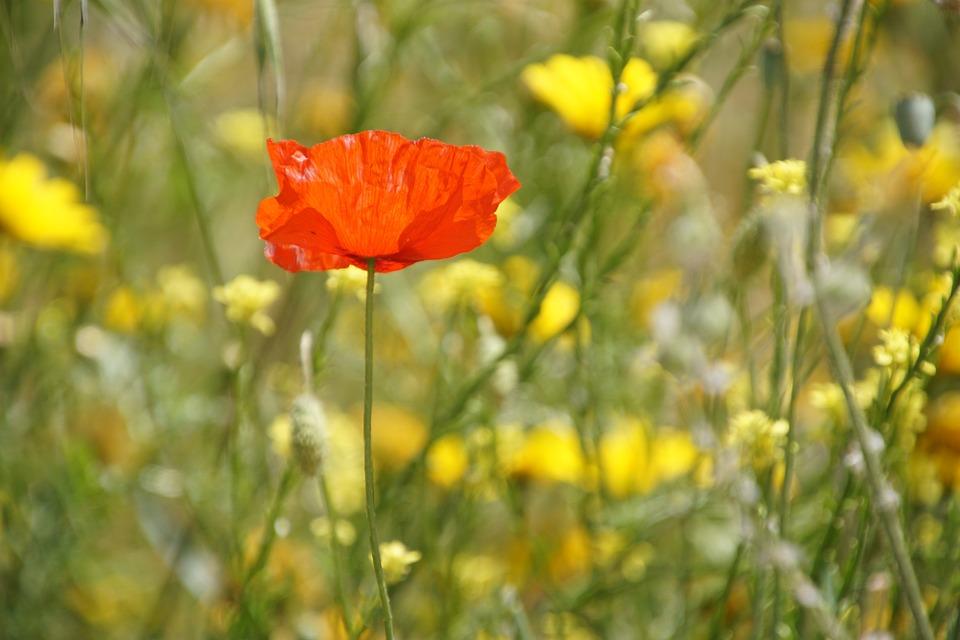 Klatschmohn, Poppy, Klatschrose, Papaver, Papaveraceae