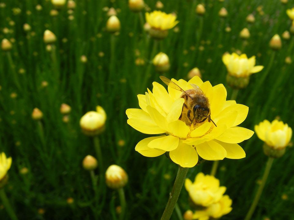 Paper Daisy, Yellow, Daisy, Paper, Bee, Flowers, Spring