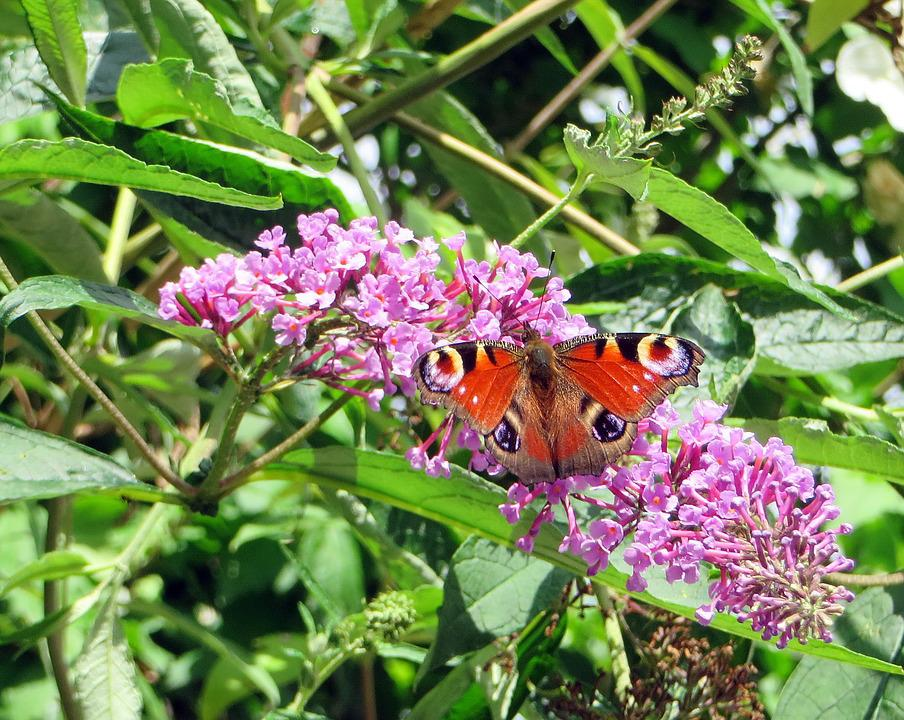 Paon-du-jour, Butterfly, Papilio Io, Insects, Buddleia
