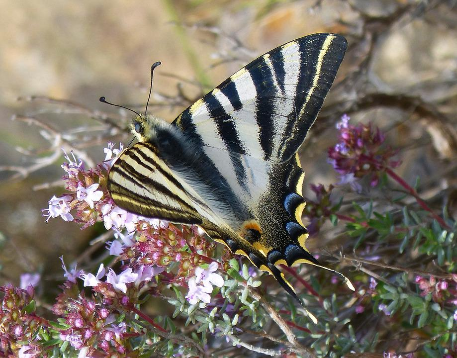 Machaon, Butterfly Queen, Butterfly, Papilio Machaon
