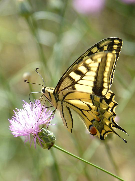 Machaon, Butterfly Queen, Papilio Machaon, Detail