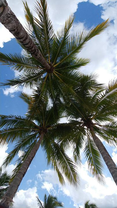 Palm, Coconut, Tree, Tropical, Beach, Exotic, Paradise