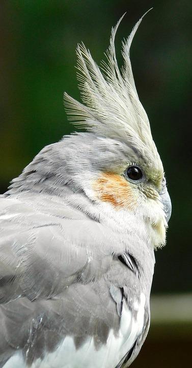 Bird, Parakeet, Small Parrot, Plumage, Feathers, Grey