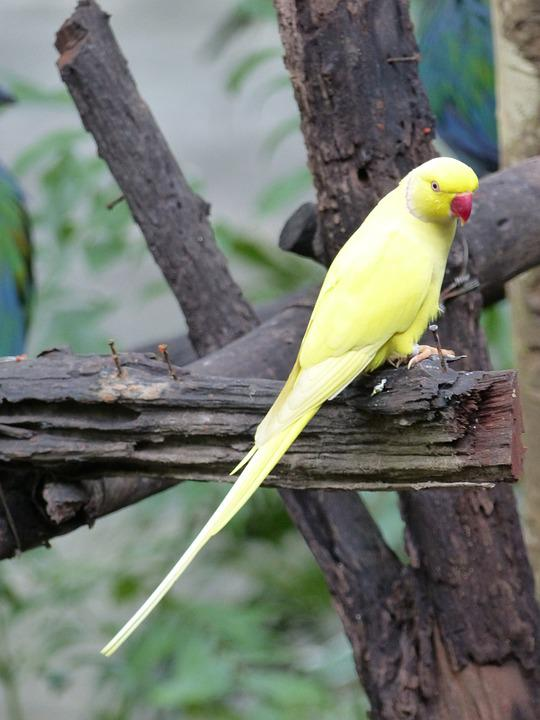 Parakeet, Yellow, Birds