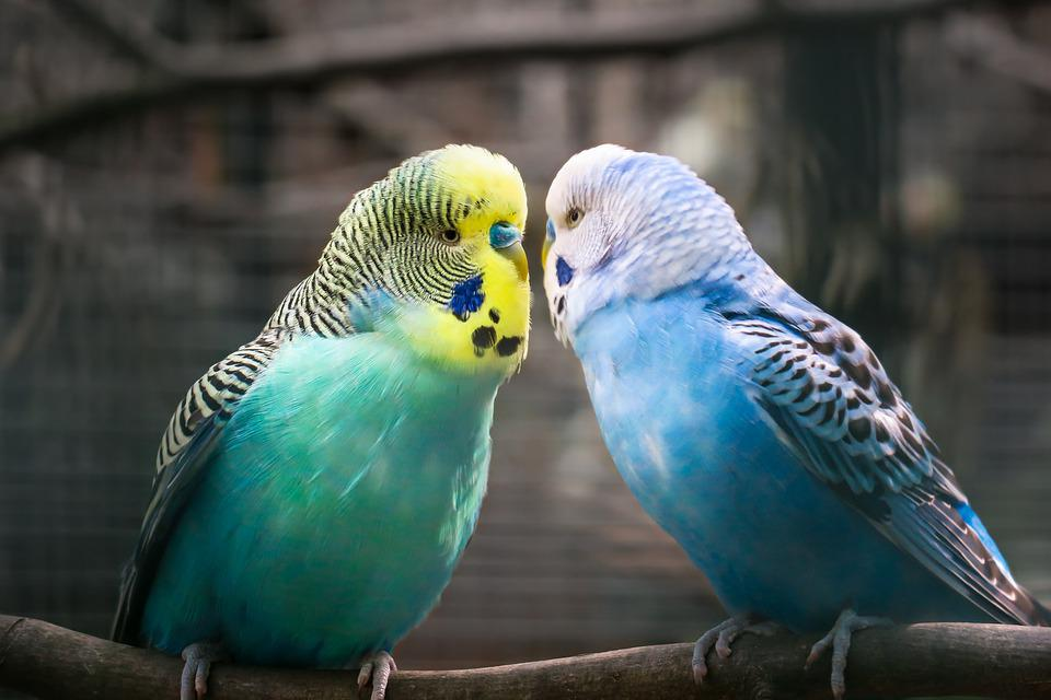 Budgie, Friendship, Affection, Love, Parrot, Parakeet