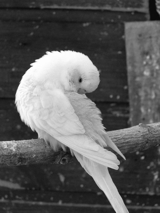 Parakeets, Birds, Parakeet Corrugated, Animals, Animal