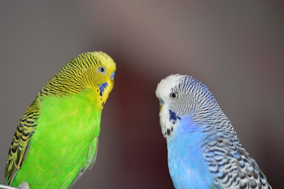 Budgerigars, Blue, Bird, Parakeets, Pets, Animal World