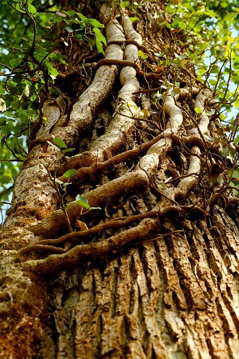 Ivy, Ranke, Plant, Parasite, Entwine, Climber Plant
