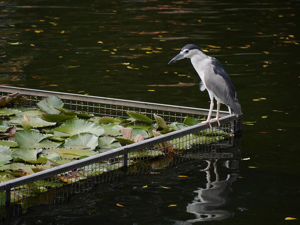 Bird, Pond, Park, Water, Nature, Asia, Taiwan