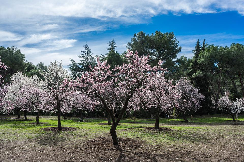 free photo park bloom spring almond tree flower flowers max pixel