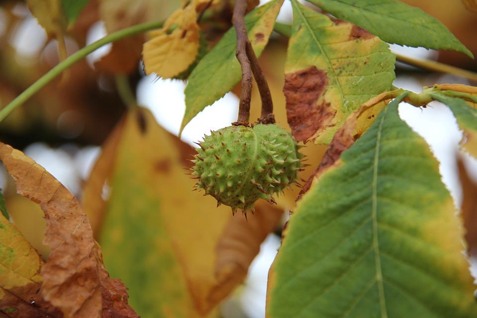 Autumn, Chestnut, Buckeye, Tree, Park, Close