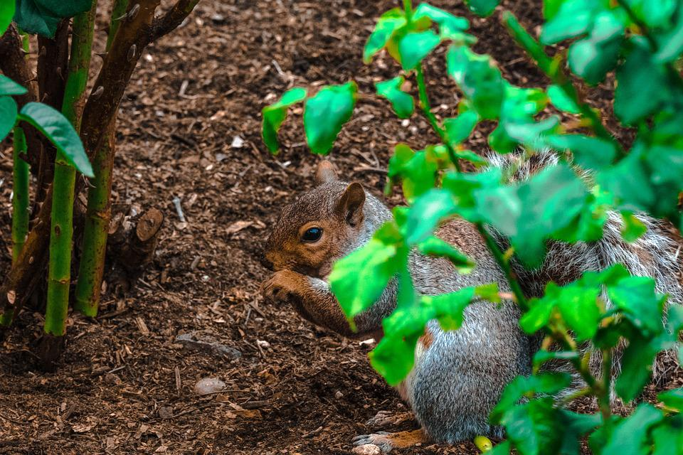 Squirrel, Canada, Park, Fur, Chipmunk, Brown, Wild