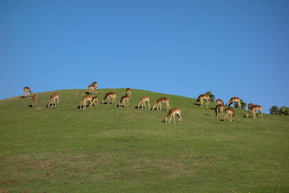 Deer, Grassland, Grass, Wildlife, Nature, Park, Hunting