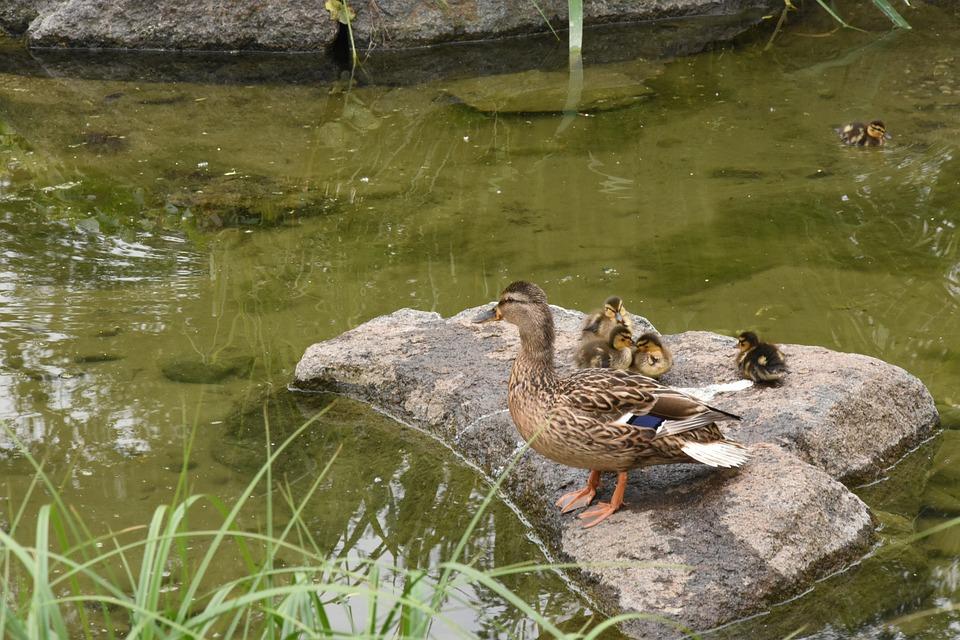 Duck, Family, Nature, Park, Namsan