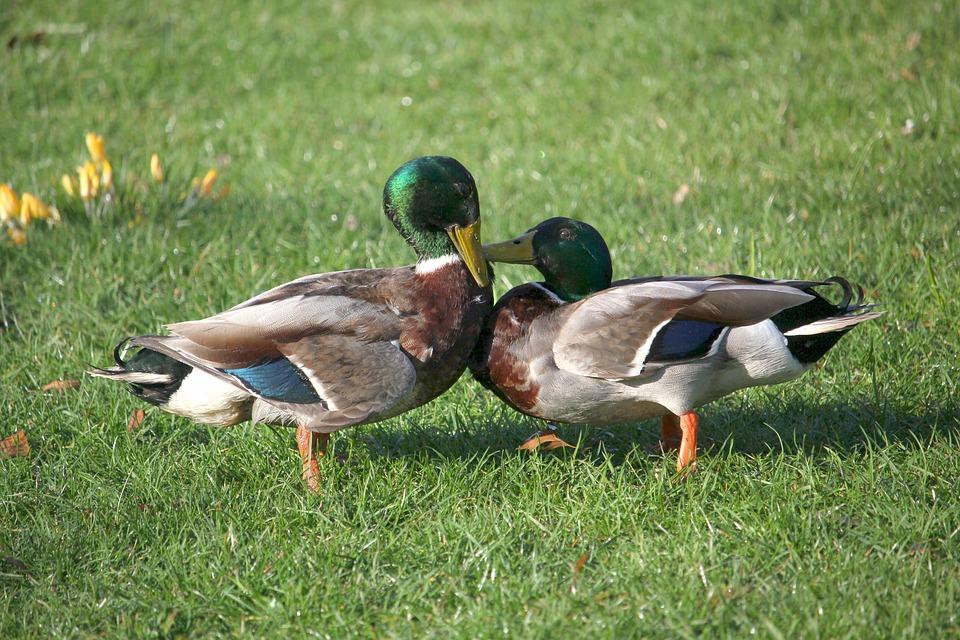 Ducks, Argue, Fight, Waterfowl, Spring, Park, Nature