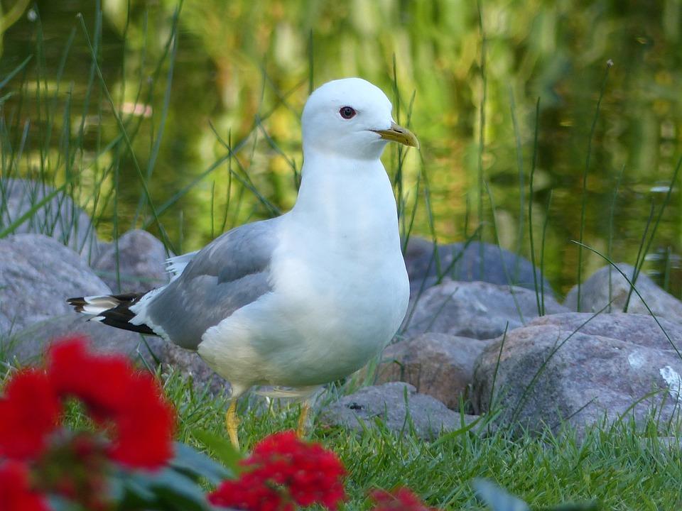 Common Tern, Bird, Stones, Park, Flowers, Greenery