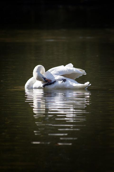 Swan, White, Lake, Park, Bird, Beak, Feathers, Aqueous