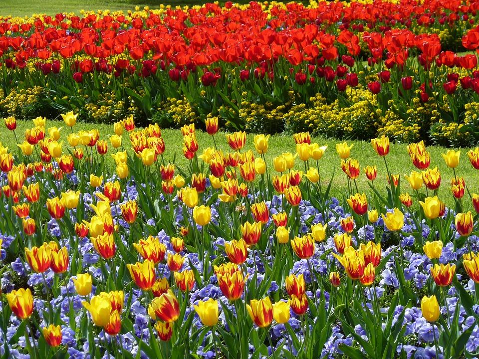 park tulips tulip field garden meadow colorful - Tulip Garden Near Me