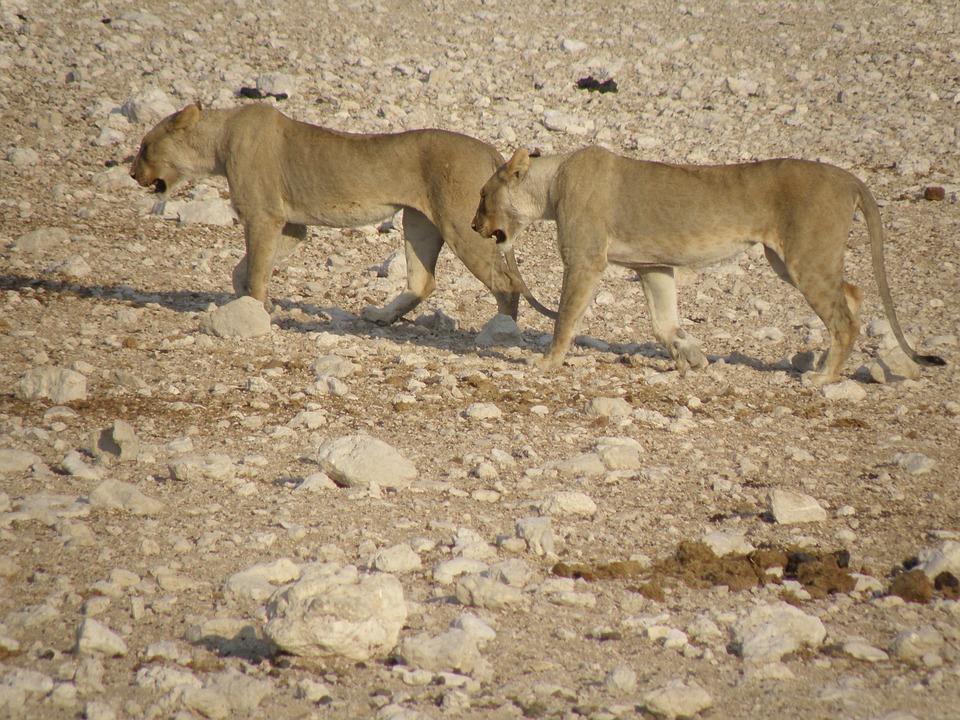 Lionesses, Namibia, Park