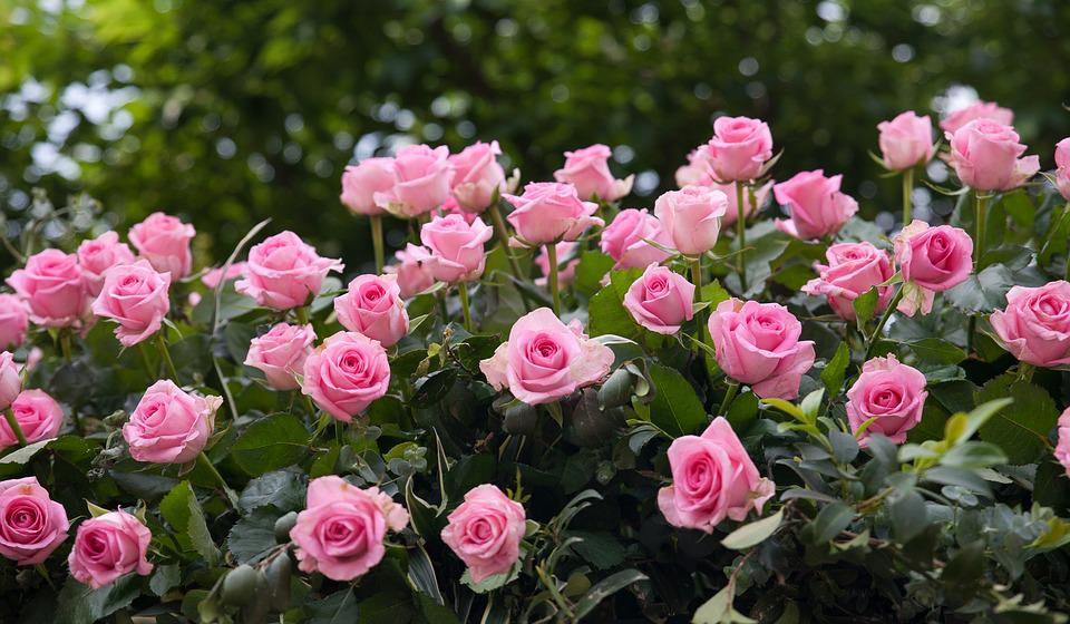 Beautiful rose garden photos #1