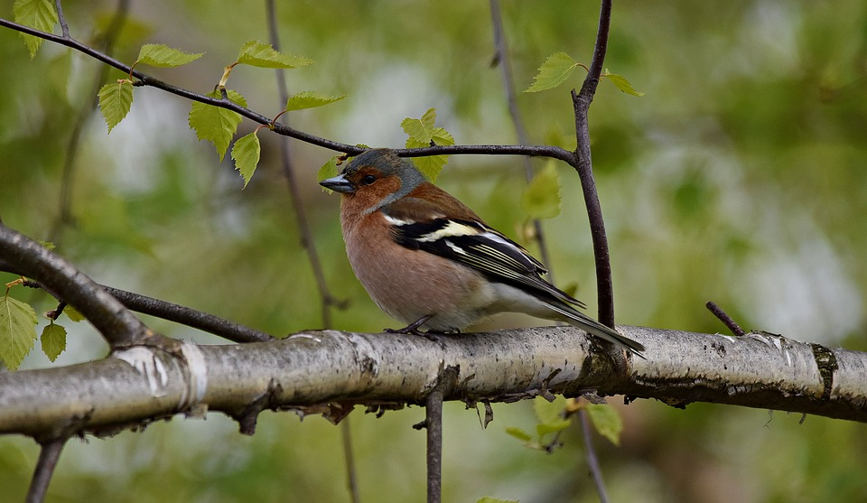 Chaffinch, Bird, Tree, Nature, Branches, Park