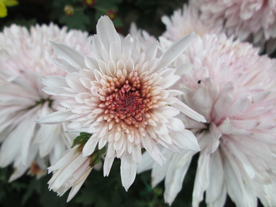 Chrysanthemum, Plant, Park, Purple