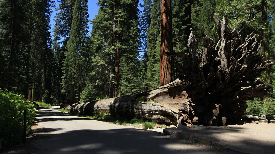 Redwood, Yosemite, California, Park, National, Sequoia