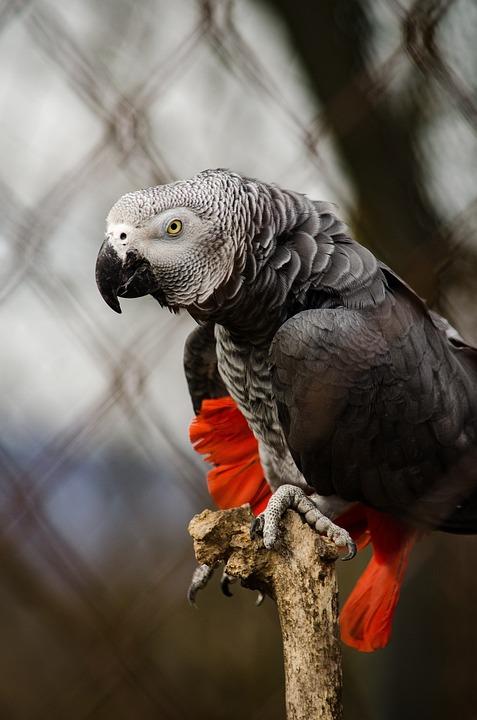 African Grey Parrot, Parrot, Bird