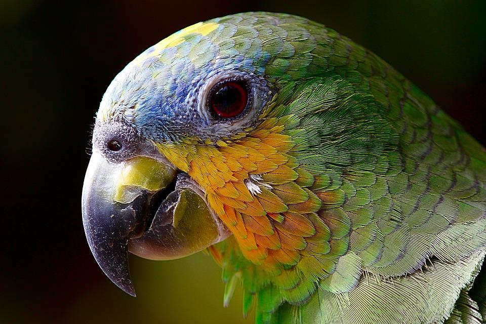 Parrot, Macaw, Bird, Amazon, Head, Closeup, Green