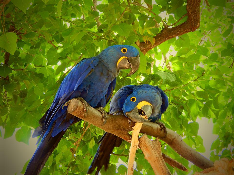 Parrot, Blue, Bird, Feather, Tropical, Animal, Exotic