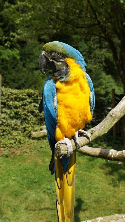 Parrot, Ara, Bird, Colorful, Yellow Macaw