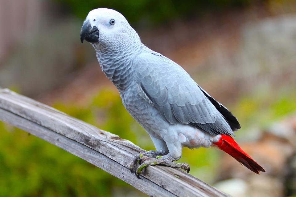 Parrot, Bird, Wildlife, Nature, Animal, Beak