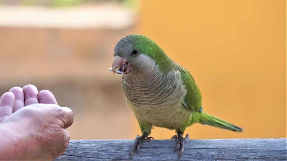 Parrot, Green, The Slender-billed Parakeet, Bird, Bill