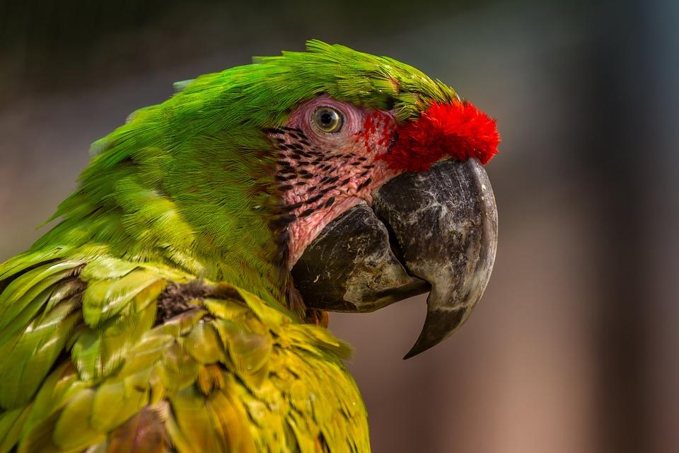Parrot, Colorful, Ara, Exotic, Beak, Fauna, Bird
