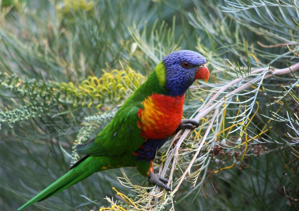 Parrot, Bird, Lorikeet