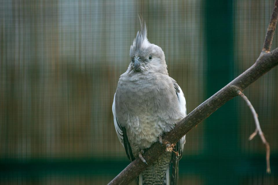 Cockatoo, Parrot, Bird, Grey, Feather, Poultry, Plumage