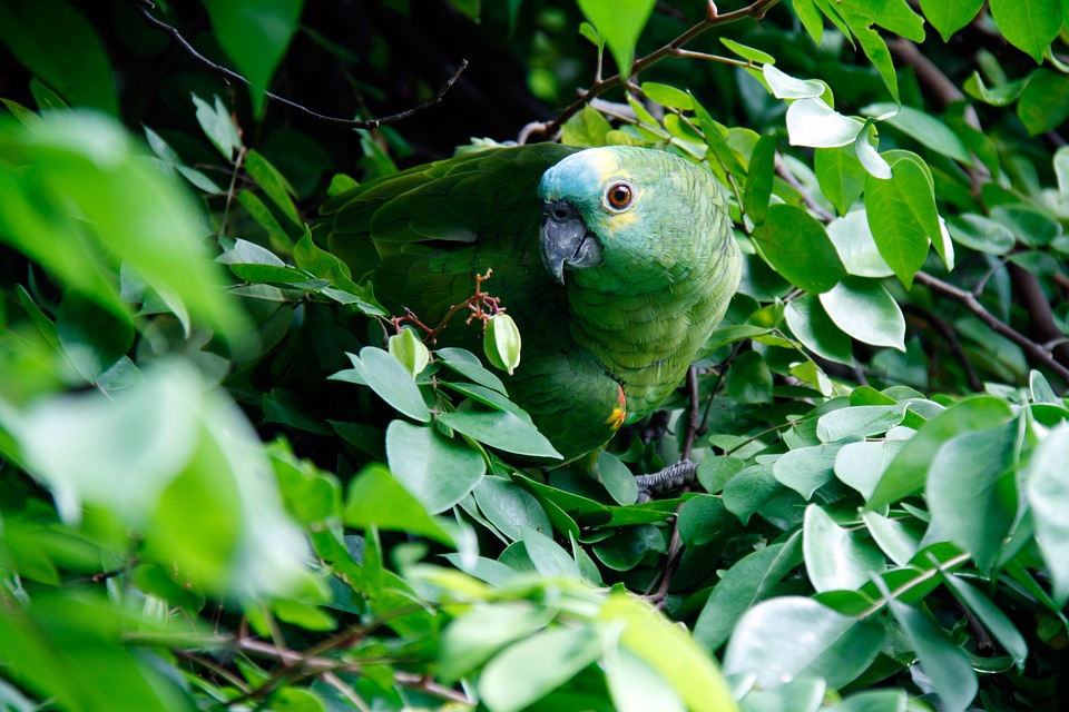 Green, Parrot, Leaves, Foliage, Green Bird, Camouflage