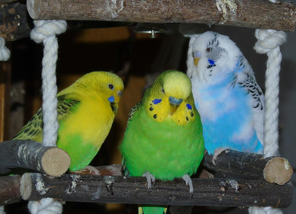 Budgie, Parrot, Bird, Yellow, Green, Blue, Parakeet