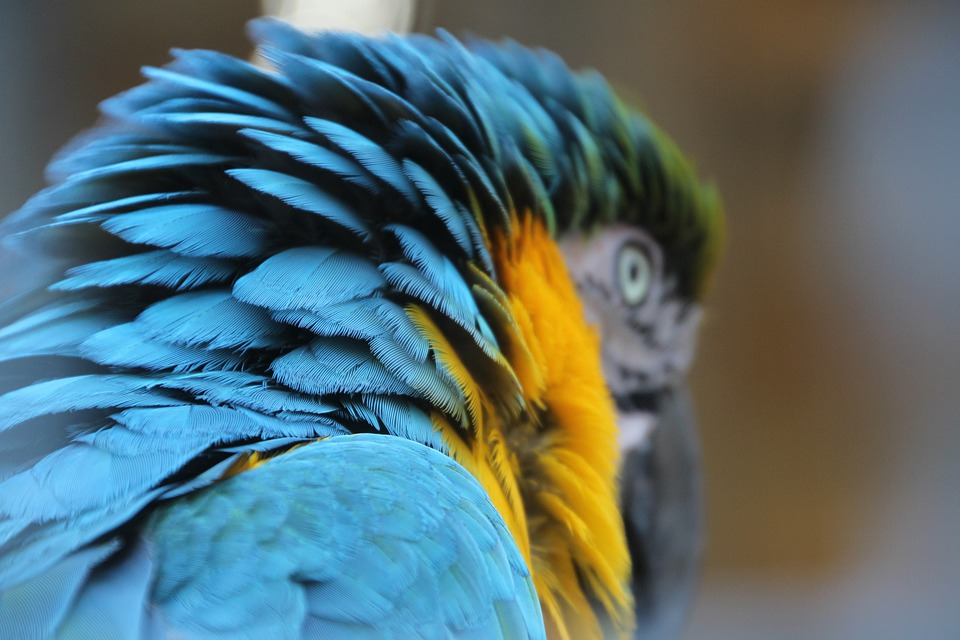 Parrot, Blue Macaw, Head, Bird, Close Up, Feathers