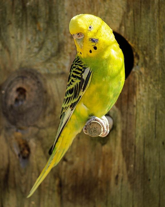 Parakeet, Yellow Parakeet, Green Parakeet, Bird, Parrot