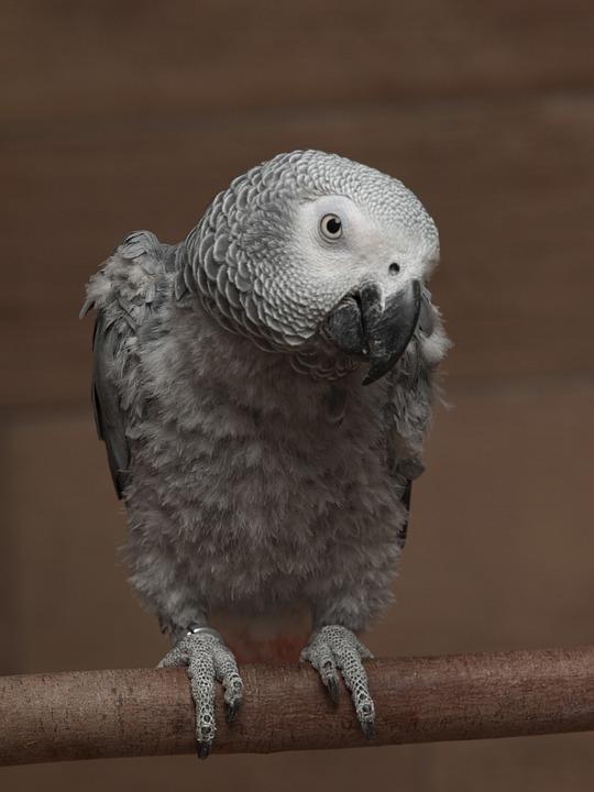 Parrot, African, Grey, Bird, Perch, Portrait, Close-up