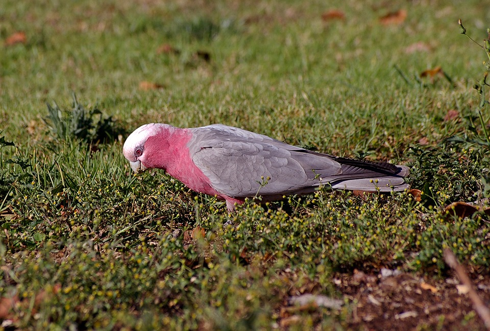 Galah, Rose-breasted Cockatoo, Parrot, Bird, Pink, Grey