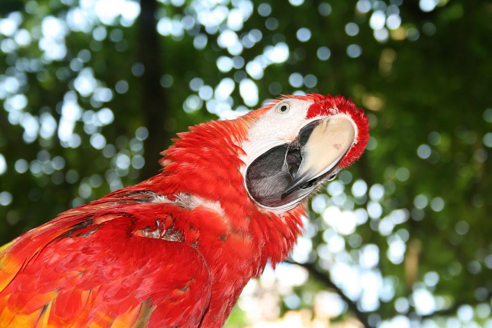 Parrot, Question, Confused, Red, Bird, Tropical