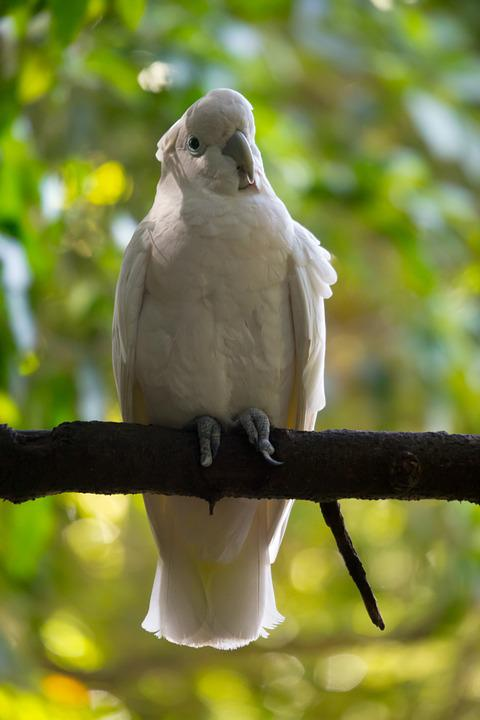 Tropical Bird, Wild, White, Parrot