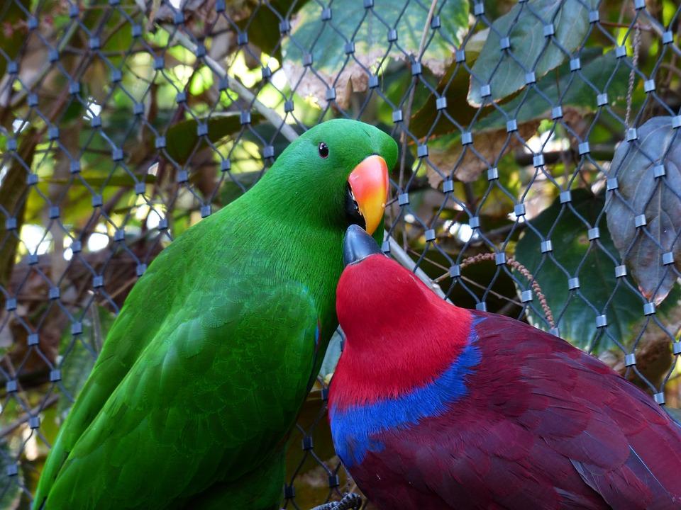 Noble Parrots, Parrots, Couple, Love, Pair, Feeding