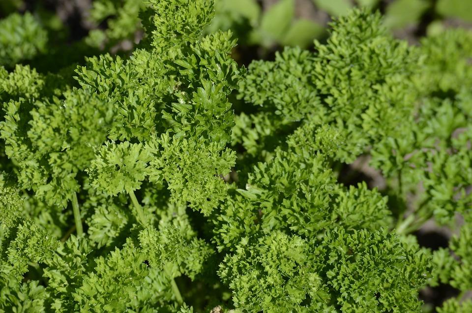 Parsley, Culinary Herbs, Herbs, Green, Vegetarian